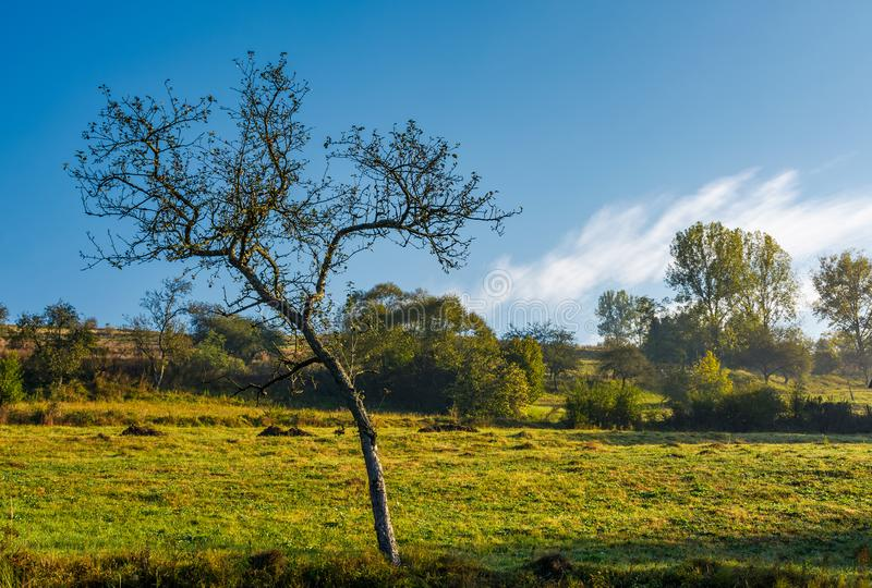 Leafless apple tree in autumn orchard royalty free stock photo