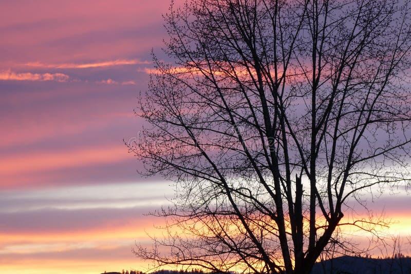 Leafless cottonwoodboom tegen een lentezonsondergang de Noord- van Idaho stock afbeeldingen