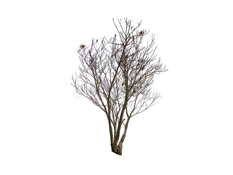 Leafless Dry dead tree isolated on white background. stock image