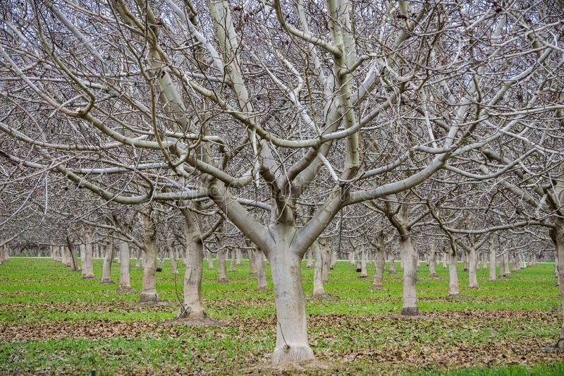 Leafless fruit trees on a winter day, Sacramento valley, California royalty free stock images