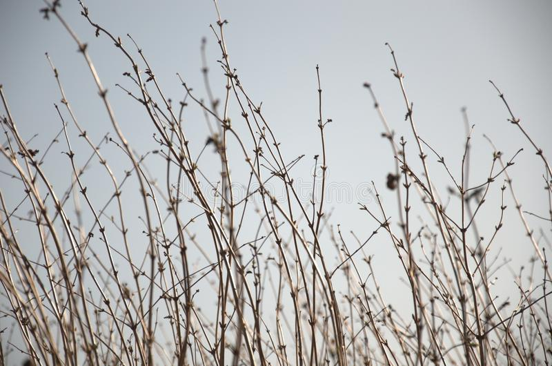 Download Leafless Hedge Bush Stock Photo - Image: 83700817