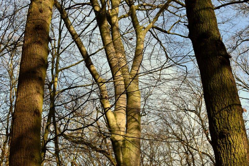 Leafless kroon van een boom tegen een blauwe hemel, de winter royalty-vrije stock fotografie