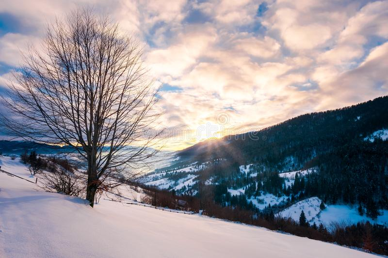 leafless lonely tree on a snowy slope at sunrise stock photos