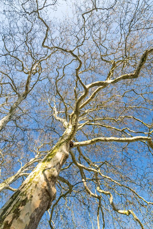 Leafless plane tree with many branches in the morning sun stock images