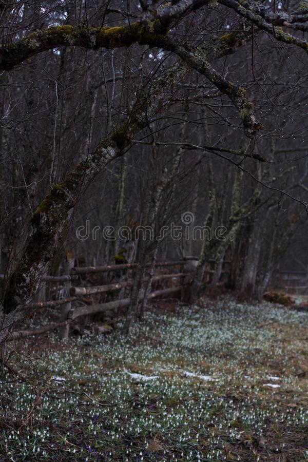 Leafless tree branches above the glade with snowdrops and crocuses royalty free stock photo