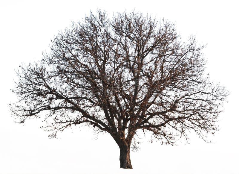 Leafless tree isolated. On white background royalty free stock photos