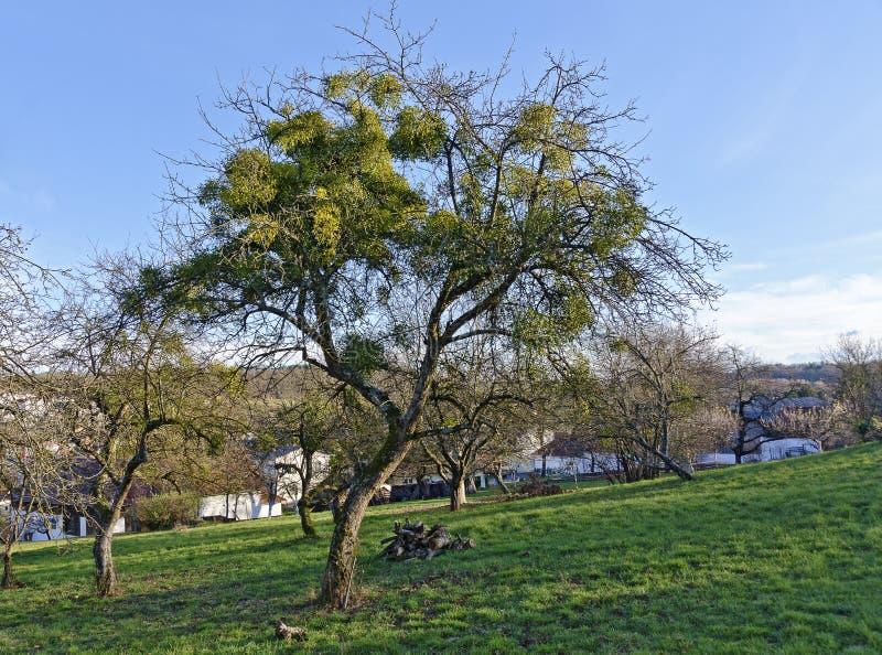 Leafless tree with mistletoe's stock photos