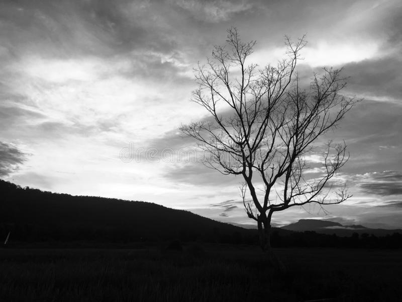 Leafless tree in the rice field and mountain. stock photos