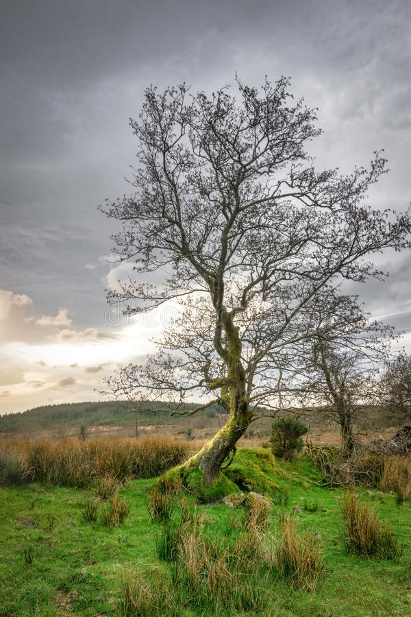 Leafless tree at Sunset. This is a picuture of a leafless tree at sunset in Donegal Ireland. The suns light is reflecting off of the trunk of the tree stock photography