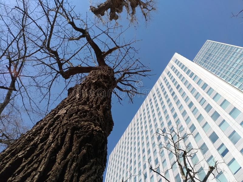 Leafless tree versus building in Sapporo Japan stock photography