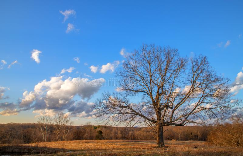 Leafless tree in winter stock photos
