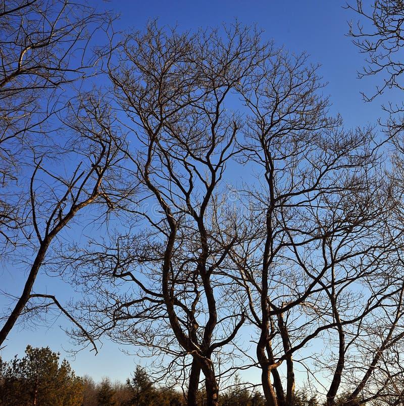 Free Leafless Trees Royalty Free Stock Image - 12977696