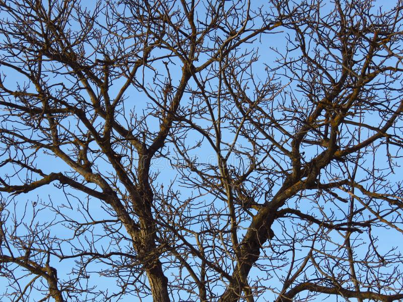 Leafless trees. Cold weather forecast. Nature in autumn, fall, winter. Tree leafless crown branches. Leafless trees. Cold autumn fall spring weather forecast royalty free stock photography