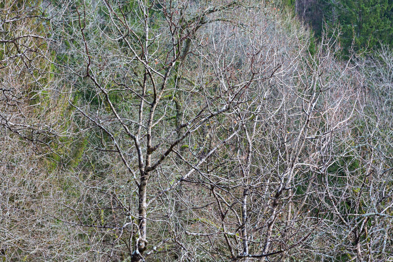 Leafless Vergankelijk bos stock afbeelding