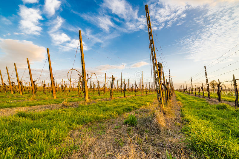 Leafless vineyards organized into files royalty free stock image