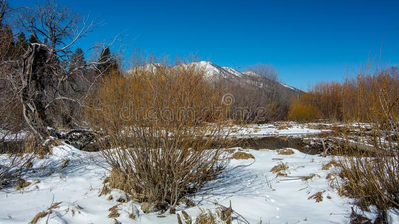 Leafless willow bushes overwintering in Tahoe royalty free stock photography
