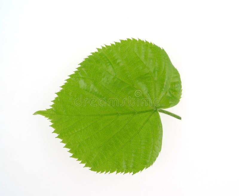 leaflimefrukttree royaltyfria bilder