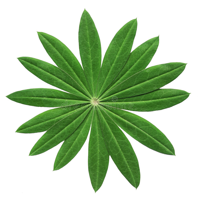 leaflupin royaltyfri foto