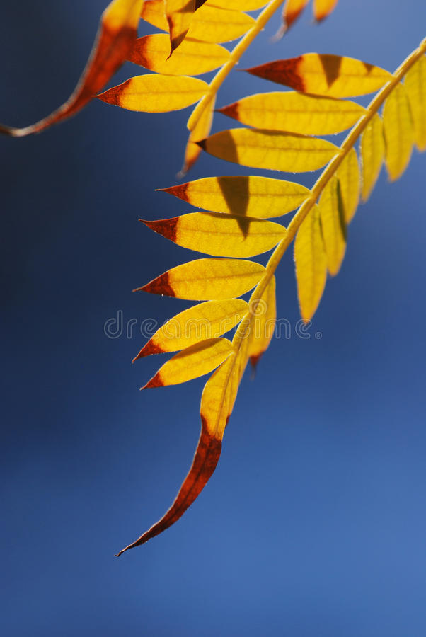 leafmimosa royaltyfri foto