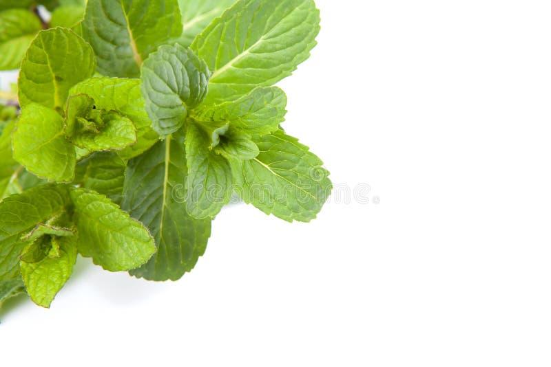 leafmint arkivfoto
