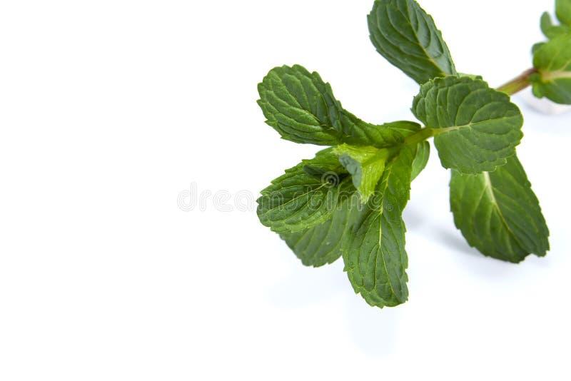 leafmint fotografering för bildbyråer