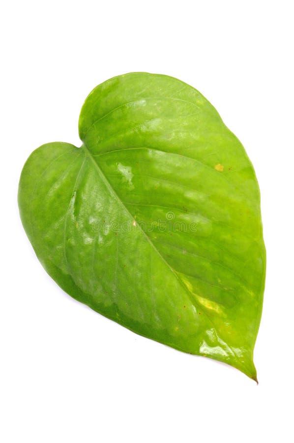 leafpengarväxt arkivfoton