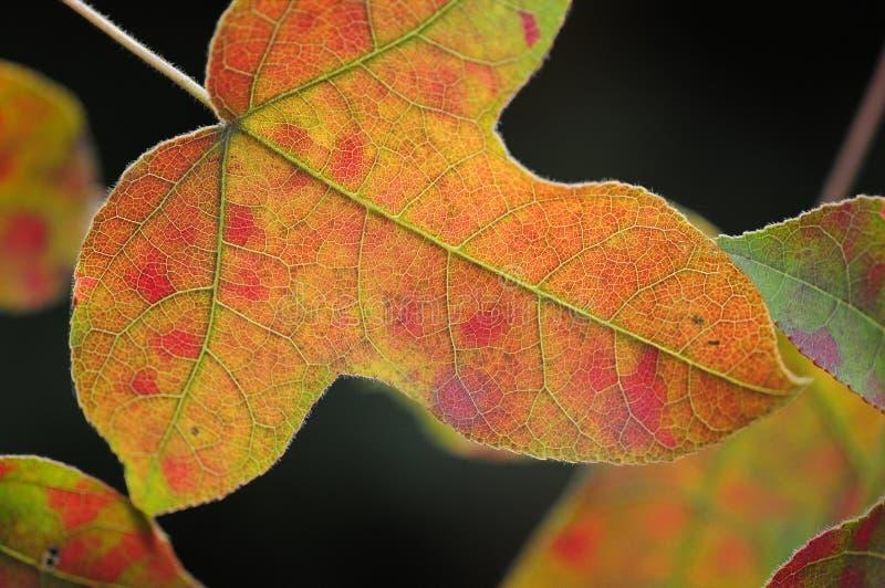 Leafred Arkivfoto