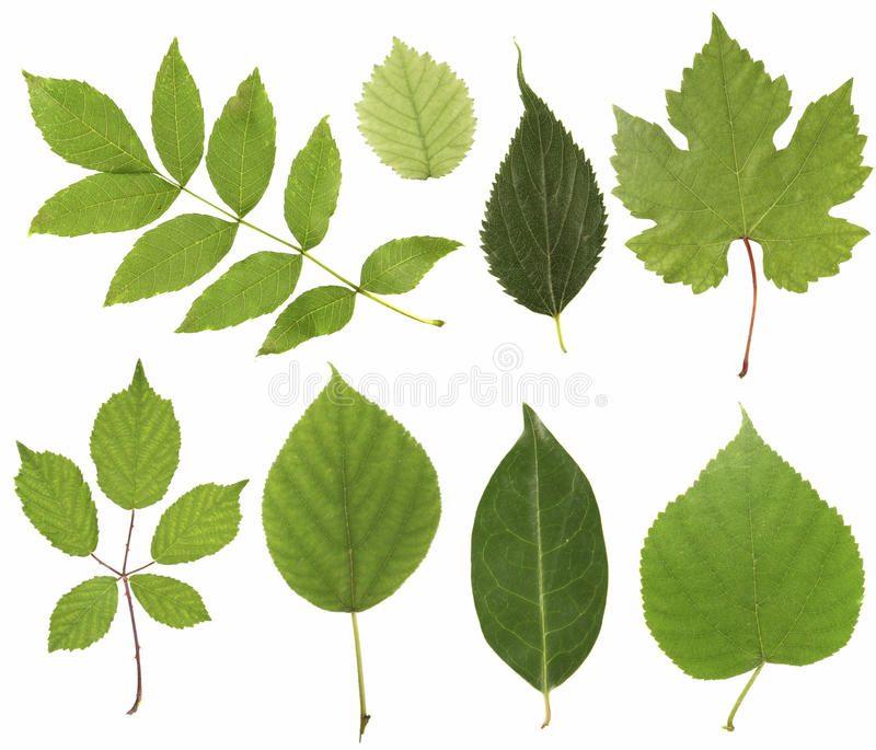 Download Leafs stock image. Image of isolated, decoration, close - 10551947