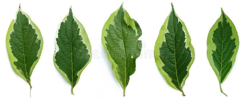 leafs fotografering för bildbyråer