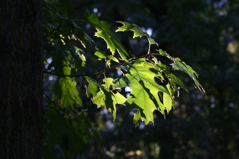 Leafs against the sun. Oak leafs against the sun royalty free stock photos