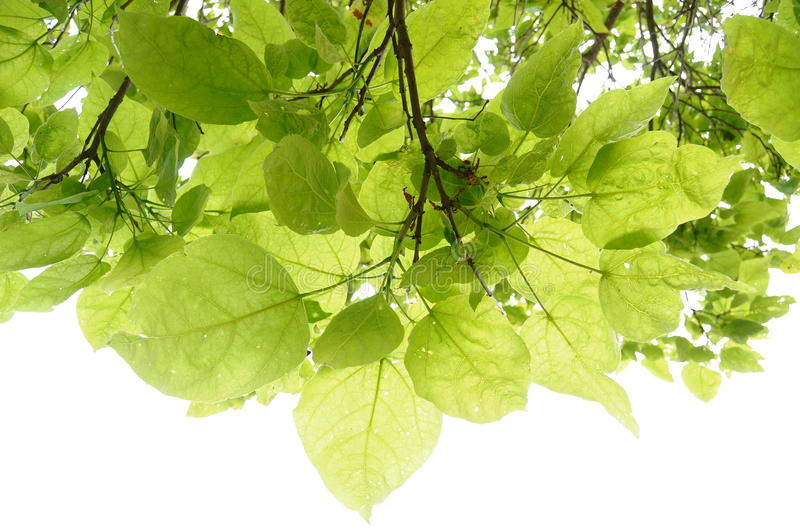 Leafs Background stock photography