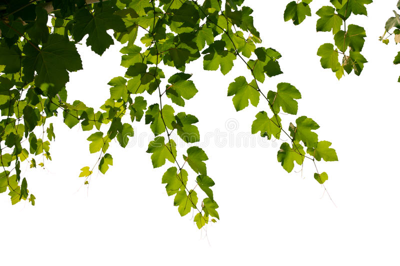 Leafs stock image