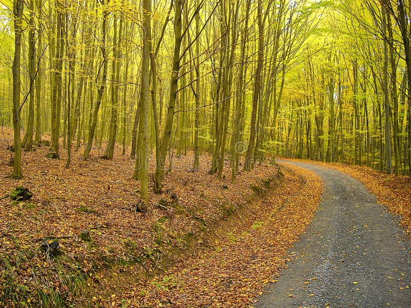 Leafs covered road in the beech trees forest in autumn / fall . Broad leaf trees foliage in autumn.Relaxing nature. Countryside l stock photography