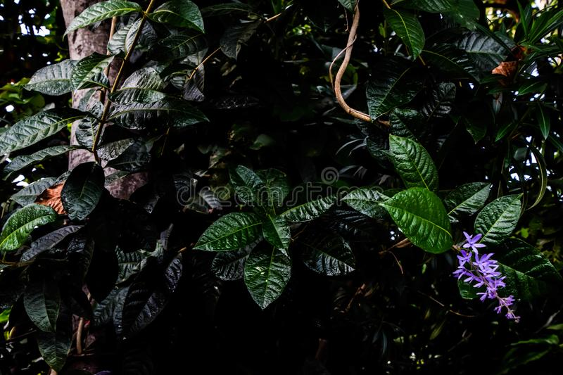 Leafs and flower soaked with water after the rain, Beautiful Purple Flower, Sandpaper vine or petrea flower on Nature Background,. Horizontal image, beauty stock images