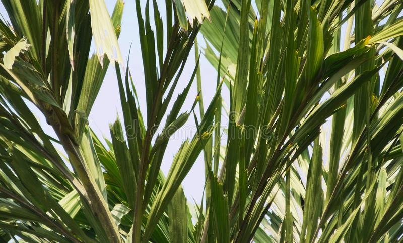 Leafs of palmetto texture pattern against blue sky royalty free stock photo
