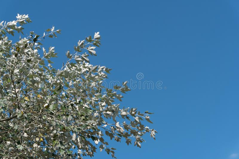 Leafs of the silverleaf poplar dance in the wind against blue sky. Also called: L. Populus alba,. E. abele, silver poplar, silverleaf poplar, white poplar. NL stock images