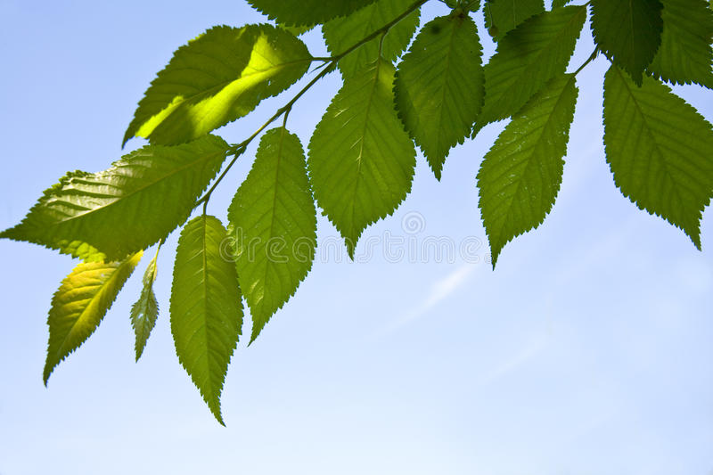 Leafs Of Tree Royalty Free Stock Image