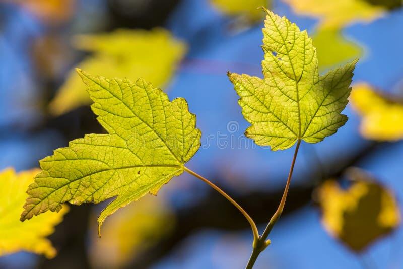 leafs två royaltyfria foton