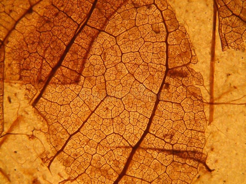 leafskelett royaltyfri fotografi