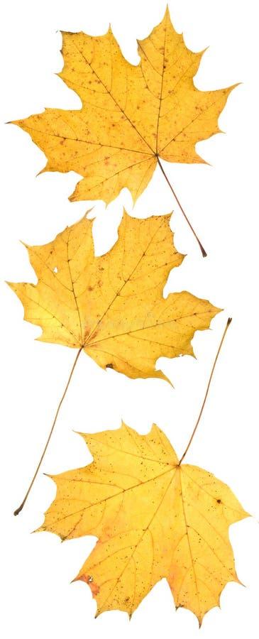 leafwihite arkivfoto