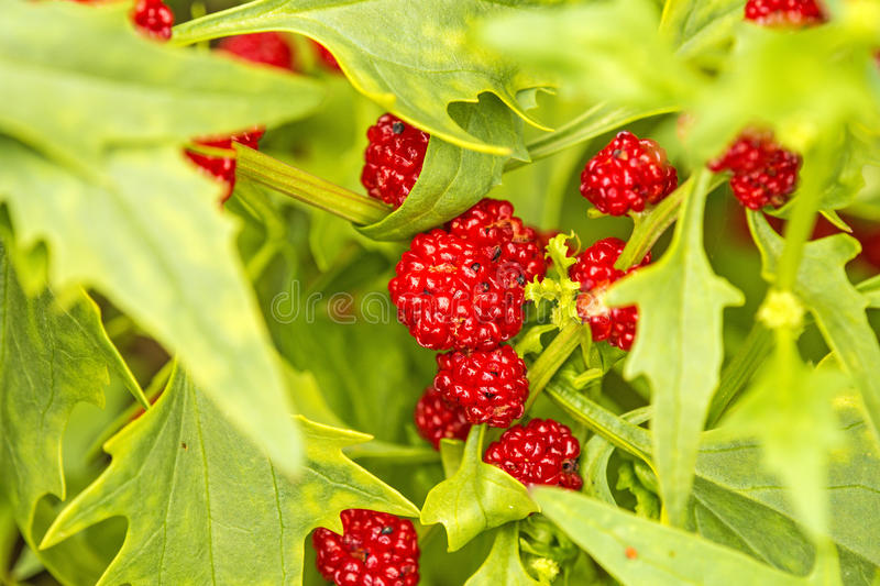 Leafy goosefoot, fruits. Like strawberries stock images