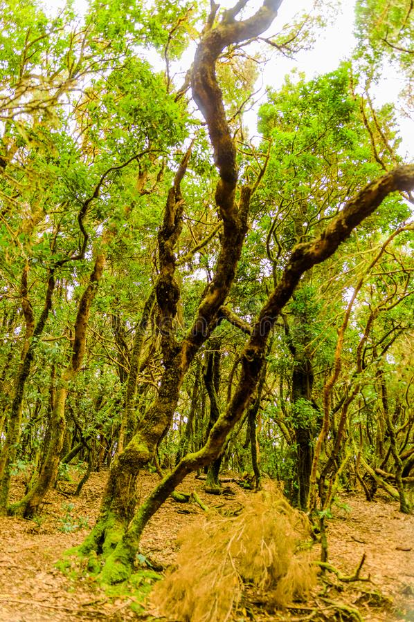Leafy And Green Forest Of Laurisilva Trees On The Path Of The Senses. April 11, 2019. Vega De Las Mercedes Santa Cruz De Tenerife. Spain Africa. Travel Tourism royalty free stock photos