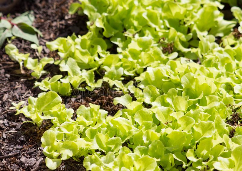 Leafy green vegetables grown in home gardens, fresh organic and healthy salad lettuce. Signs of spring with first garden growth. Enjoying a gardening hobby or stock image