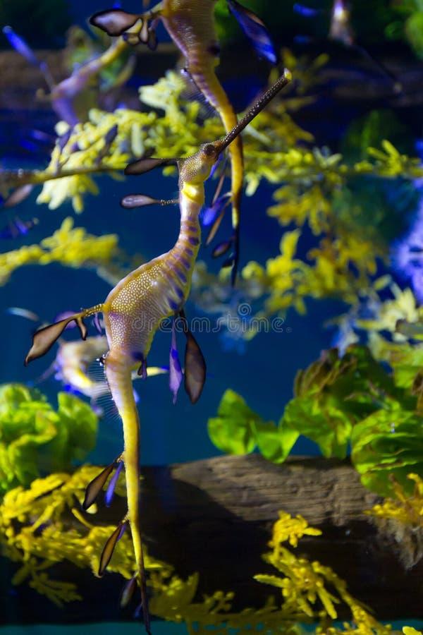 Leafy sea dragon royalty free stock photo
