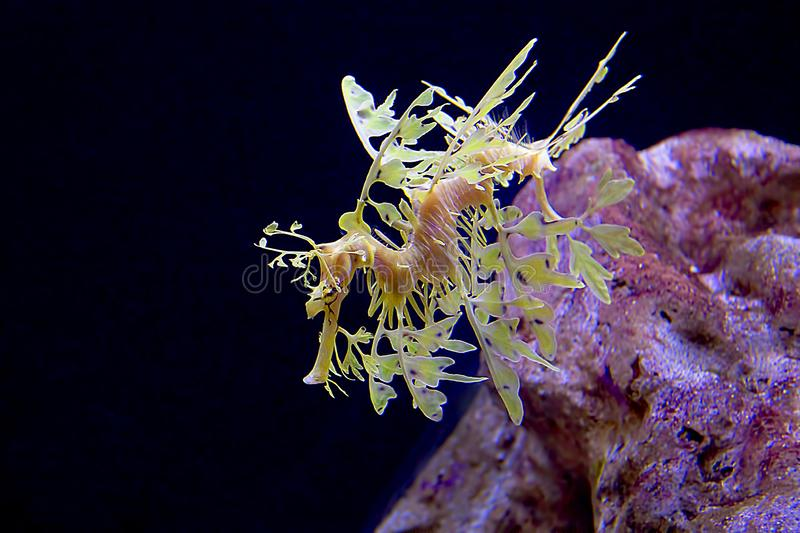Leafy Sea Dragon. A rare and endangered Leafy Sea Dragon under water by a coral rock stock photos