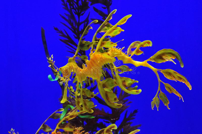 Leafy Seadragon Stock Photos