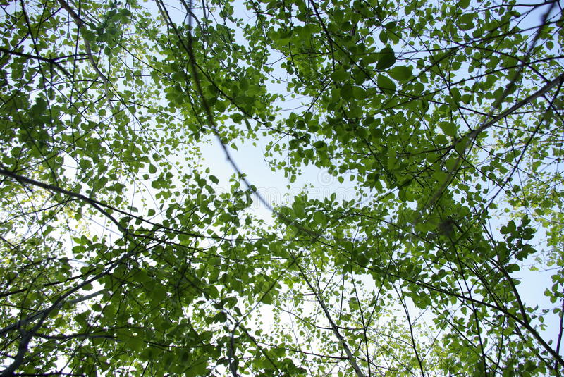 Leafy trees and sky royalty free stock images