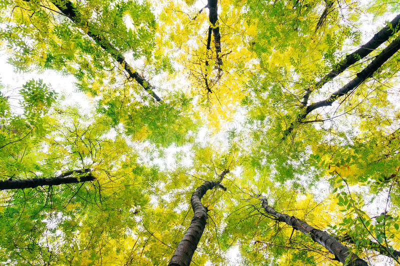 Leafy treetops. View of skies through leafy treetops stock photography