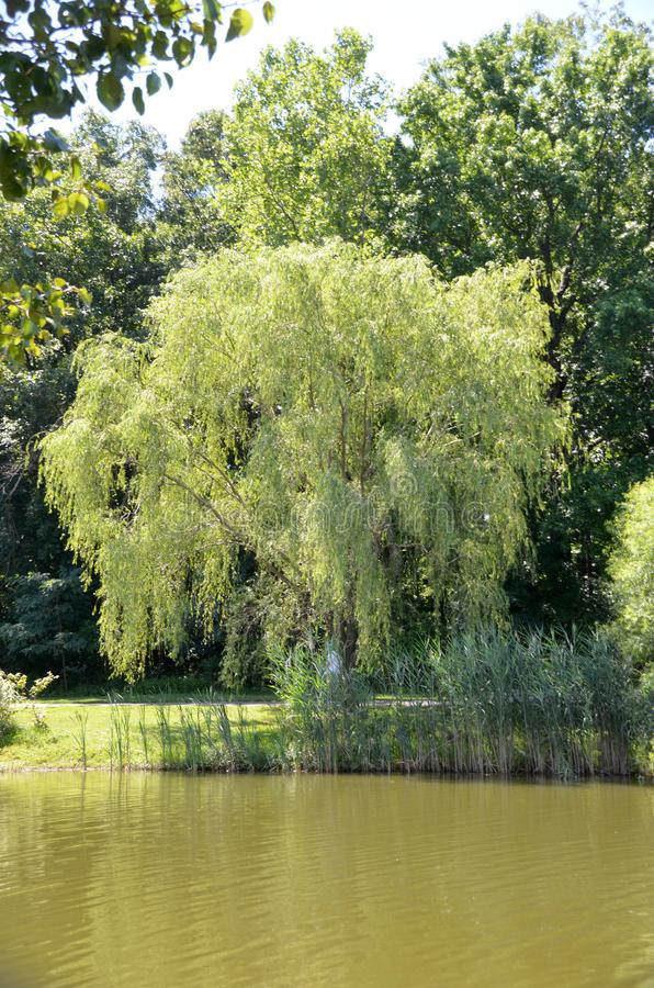 Weeping Willow Lake. A leafy weeping willow standing on the shore of a green water lake in summer royalty free stock images