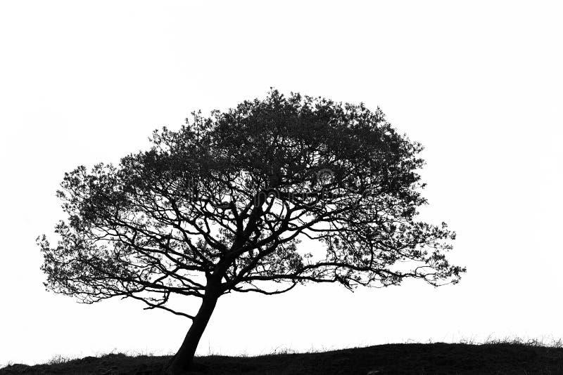 Leaning Hawthorn Tree stock photo